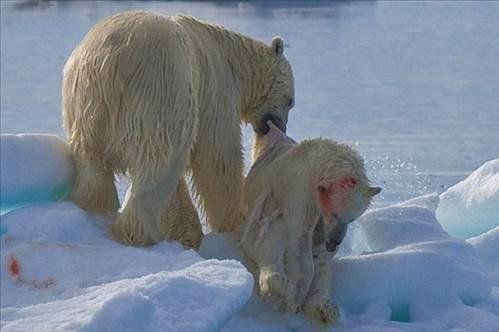Kutup Ayısı Kendi Yavrusunu Acımadan Yedi galerisi resim 1