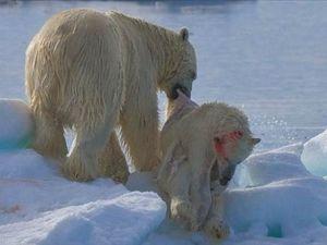 Kutup Ayısı Kendi Yavrusunu Acımadan Yedi