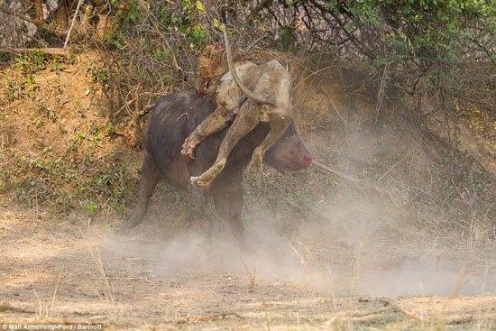 Bufalo Aslanı Boynuz Darbeleriyle Öldürdü galerisi resim 1