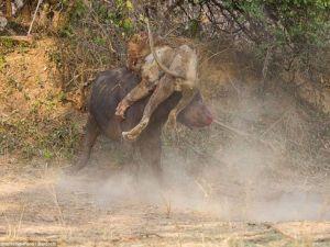Bufalo Aslanı Boynuz Darbeleriyle Öldürdü