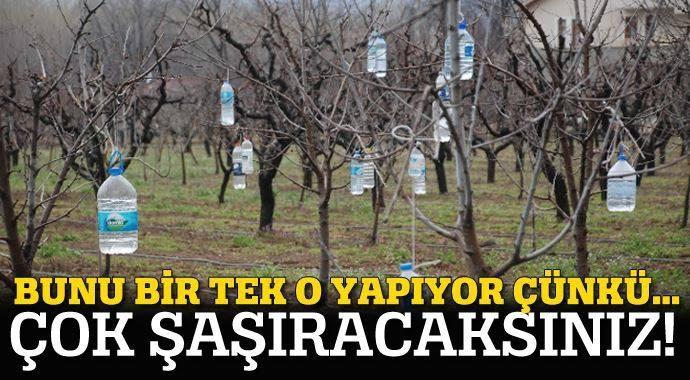Meyve Ağaçlarına Su Dolu Pet Şişe Asıyor Çünkü? galerisi resim 1