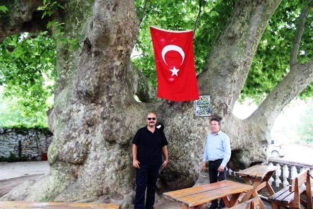 Osmanlı İmparatorluğu'ndan Daha Yaşlı Çınar Ağacı galerisi resim 1