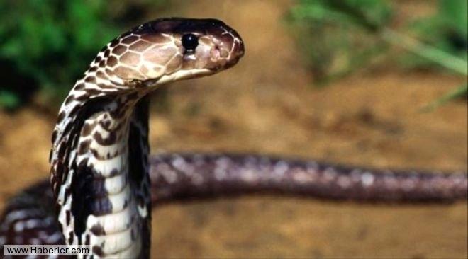 Yılanlar Hakkında Bilmediğiniz İlginç Bilgiler galerisi resim 1