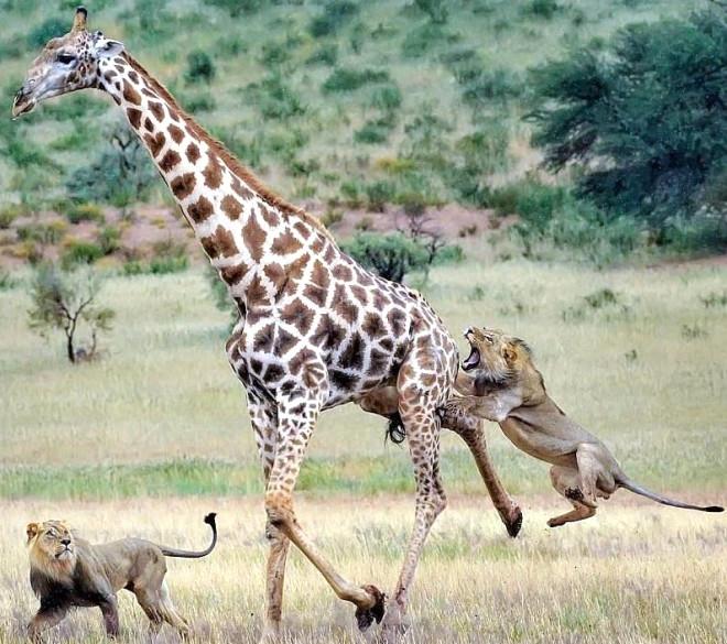5 Metrelik Zürafanın 2 Genç Aslanla Mücadelesi galerisi resim 1