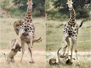 5 Metrelik Zürafanın 2 Genç Aslanla Mücadelesi