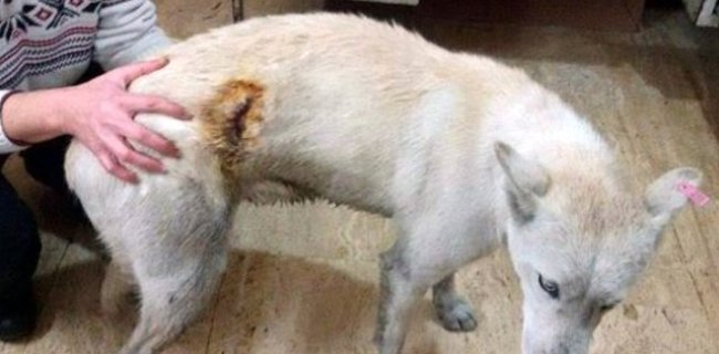 Bu İlçede Üçüncü Kez Köpek Bıçaklandı!