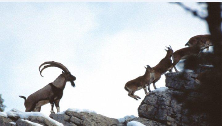 Maraş'ta 100 yıl sonra görülen yaban keçisi avcılar tarafından öldürüldü