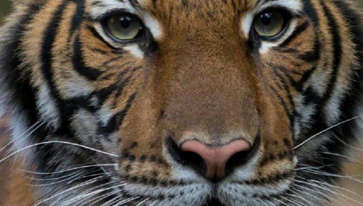 New York'ta hayvanat bahçesindeki kaplan Nadia'da koronavirüs çıktı