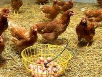 Kritik Tavuk ve Yumurtası Uyarısı!