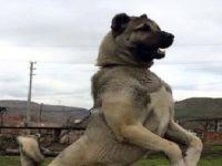 Gözü Dönmüş Caniler Kangal Köpeğini Öldürdü!