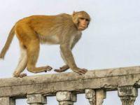 Maymunlar Papazı Taşlayarak Öldürdü