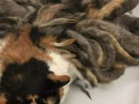 Senelerdir Bakımsız Kalan Kedinin Hali Görenleri Üzdü