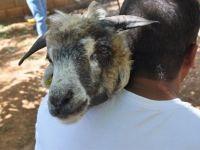 Koyununu Kırparken Kulağına Bakınca Gözlerine İnanamadı