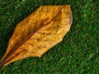 Catappa Yaprağı Nedir? Nerelerde Kullanılır?
