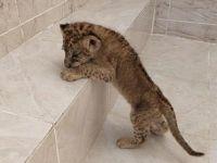 Şırnak'ta Araçta Aslan Yavrusu Bulundu