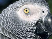 Murat Özdemir'in işkence ettiği papağanın türü hakkında bilinenler: 'Kuşların Einstein'ı'
