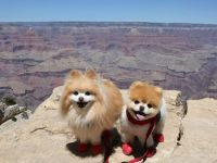 'Dünyanın en sevimli köpeği' Boo, 'kalp kırıklığından' öldü
