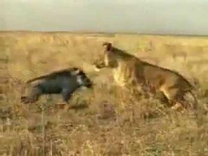 Aslan ile Domuzun İlginç Kavgası
