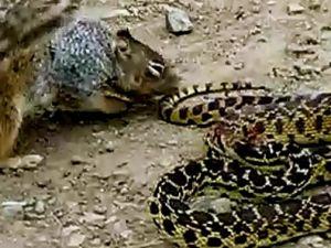 Sincap Yılana Saldırıyor