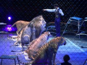 Sirkte Aslanlarla Kaplanların Muhteşem Gösterisi