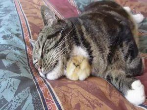 Uyuyan Kedinin Altına Girmeye Çalışan Civciv